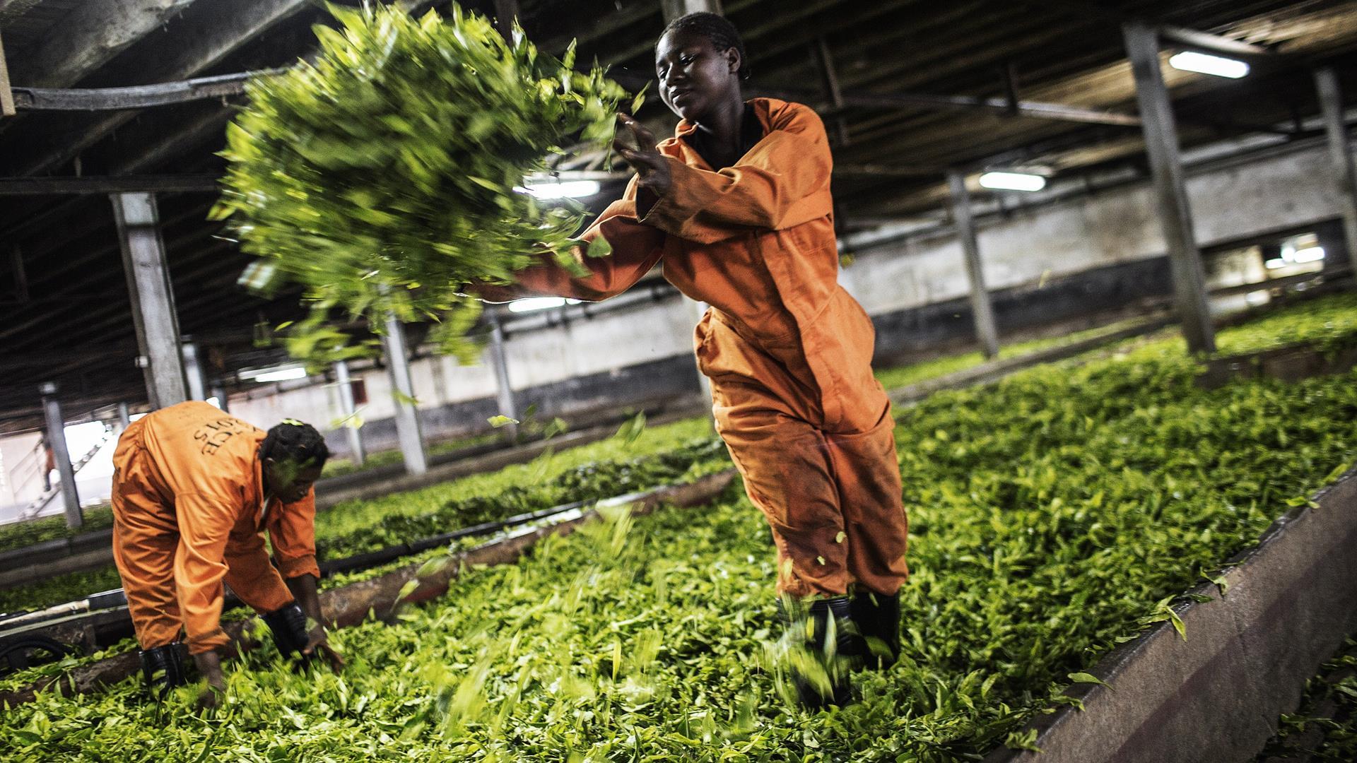 Africa Malawi Agricoltura Tè Getty Gianluigi Guercia
